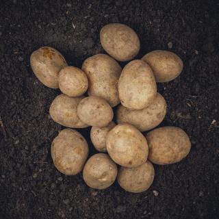 Kartoffeln Gunda - mehligkochend
